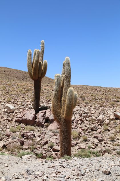 Giant cacti along the ALMA road