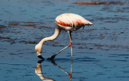 Flamingo in the Salar de Atacama