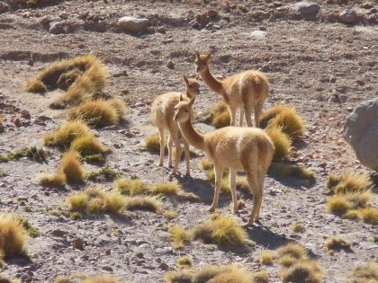 A Herd of Vicunas