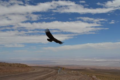 Condor over the ALMA road